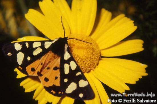 farfalla3.jpg