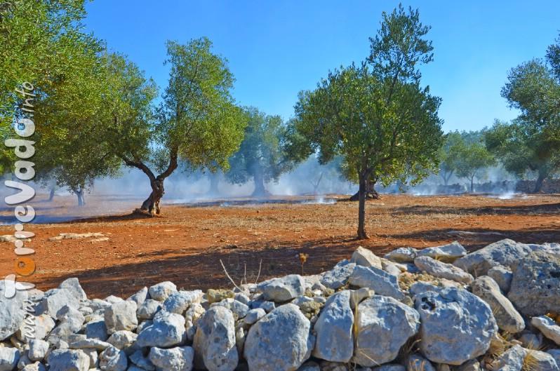 Foto Residui potatura Ulivi bruciati nei campi