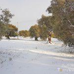 neve ulivi secolari