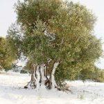 olivo secolare salento imbiacato