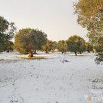 uliveto secolare puglia nevicata