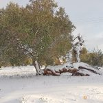ulivo secolare neve